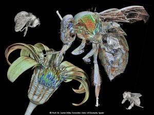Premian al catedrático Javier Alba-Tercedor por una espectacular fotografía en 3D de la 'abeja de la miel'
