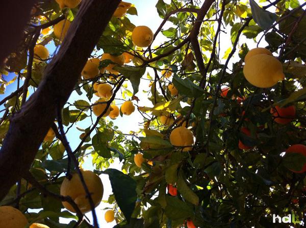 HDL Naranjo-limonero