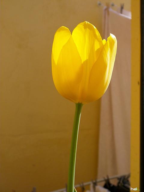 HDL Tulipán amarillo. Sevilla